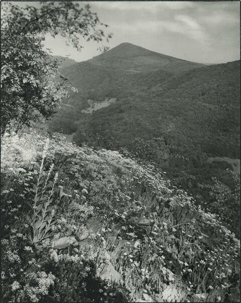 August Sander - Mauerpfeffer, sedum acre (Stonecrop, sedum acre)