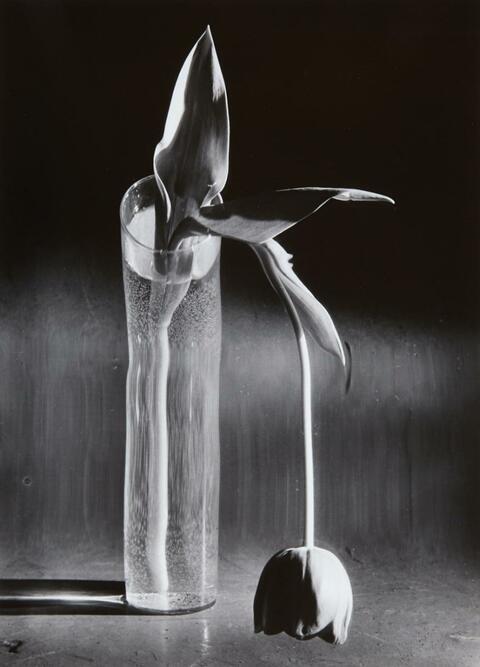 André Kertész - Melancholic Tulip