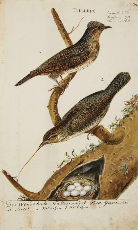 Johann Müller - Fünf Vogelpaare mit ihrem Nest