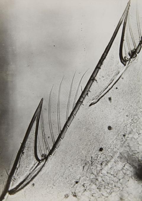 Eli Lotar - Rostre sur le nez de la crevette