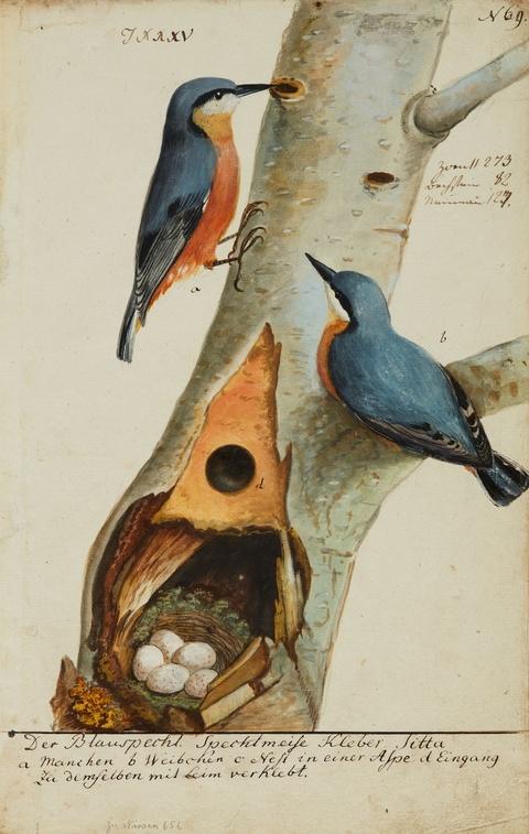 Johann Müller - Ein Paar Blauspechte, ihr Nest und ihre Eier