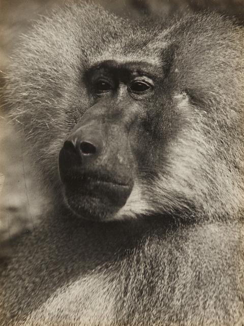 Albert Renger-Patzsch - Mantelpavian (Sacred Baboon)