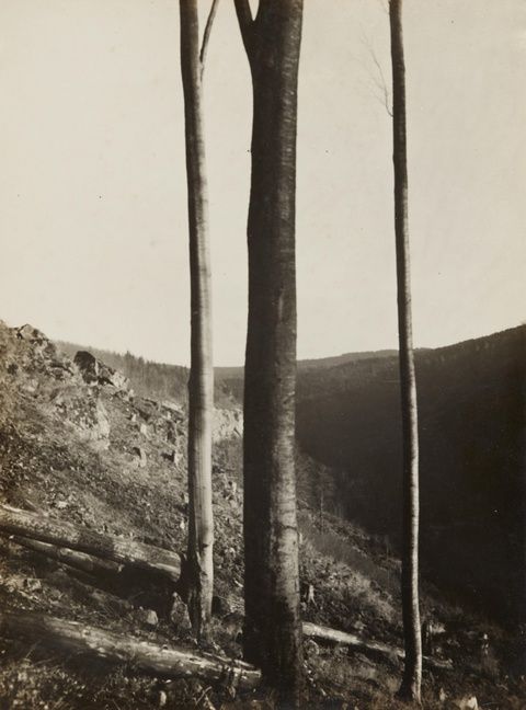 Albert Renger-Patzsch - Buchen I