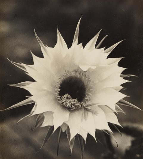 Albert Renger-Patzsch - Blüte einer Echinopsishybride