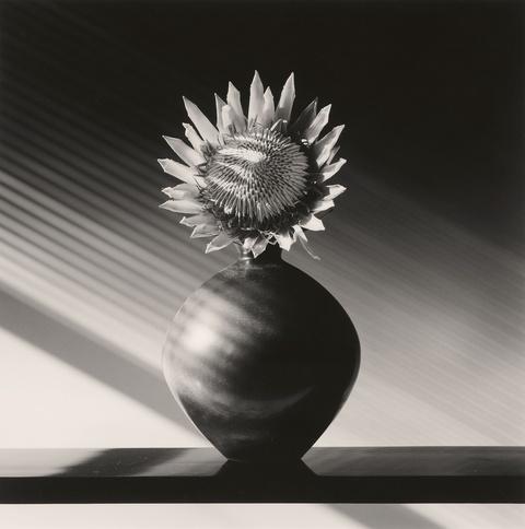 Robert Mapplethorpe - Protea