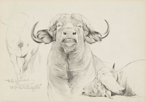 Two Studies of Bison Heads -