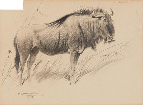 Study of a Bison Study of a Goat (Capra Falconeri) -
