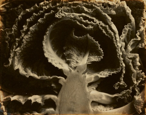 Edward Weston - Kale, halved