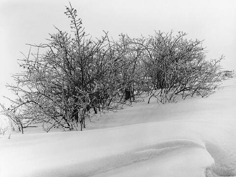 Albert Renger-Patzsch - Dornbüsche im Schnee