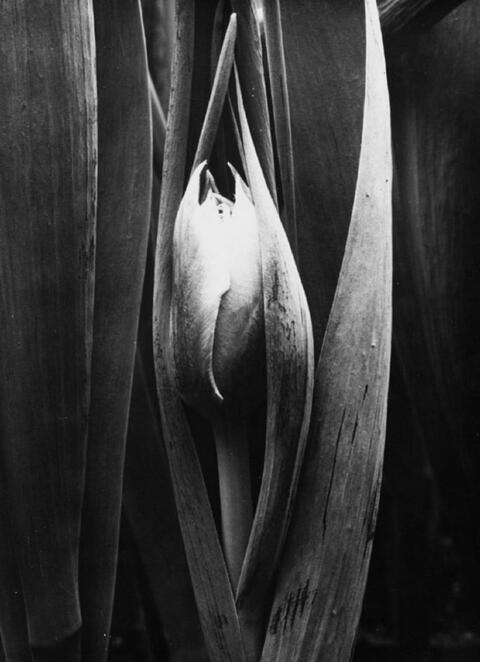 Albert Renger-Patzsch - Gartentulpe (Tulipa gernesiana)
