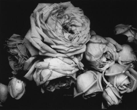 Edward Steichen - Heavy Roses, Voulangis, France