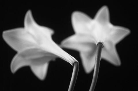 Thomas Florschuetz - Ohne Titel (Lilien)