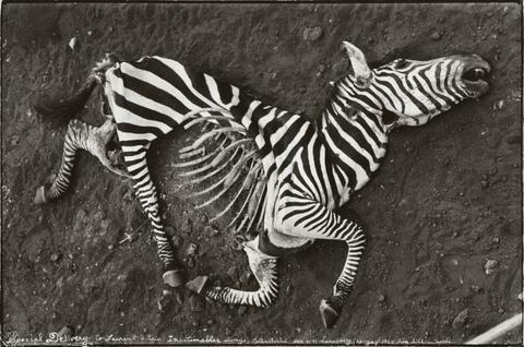Peter Beard - NAIROBBERY, KENIA, LION KILL - APRÈS