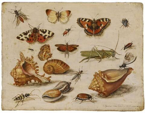Jan van Kessel the Elder, attributed to - INSECTS, MUSSELS, AND BUTTERFLIES
