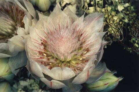 Nobuyoshi Araki - Ohne Titel (aus der Serie: Flowers)